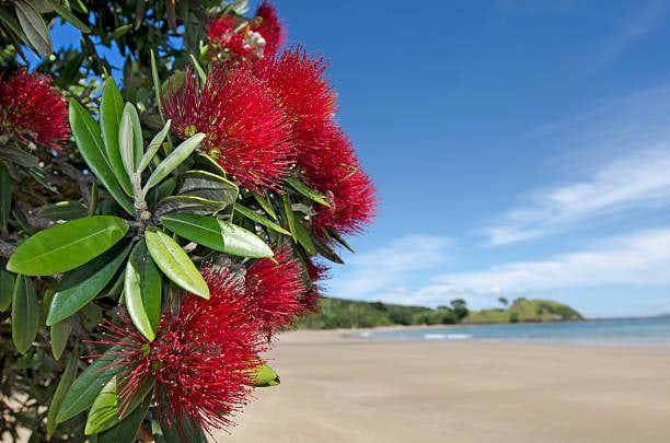 NZ pohutukawa blossoms to represent localisation service for Proofreaders Plus.
